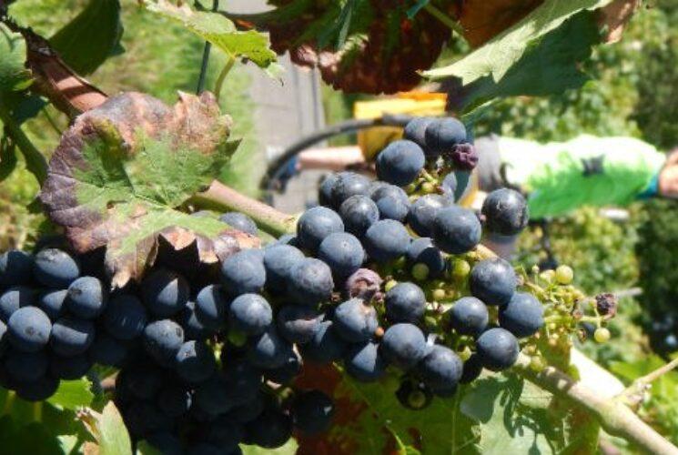Mosel  Saar Grapes