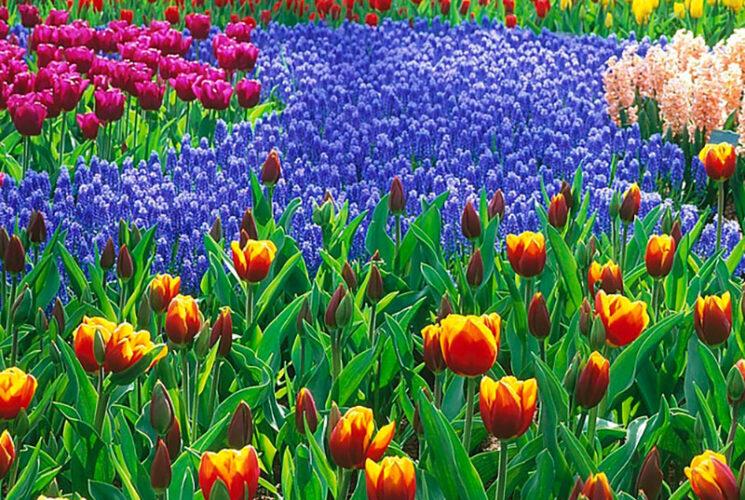 Tulpen Mini